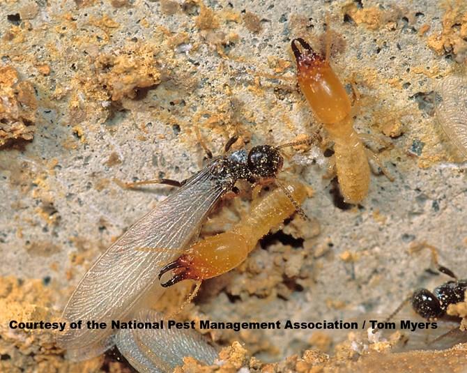 A1 Exterminators Subterranean Termite Control