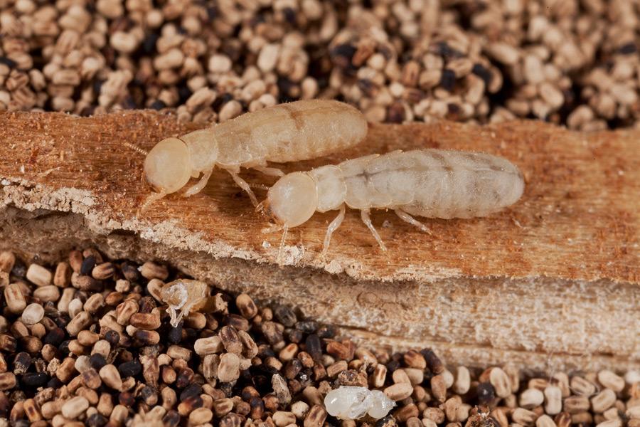 A1 Exterminators Pest Cotnrol Drywood Termites Control