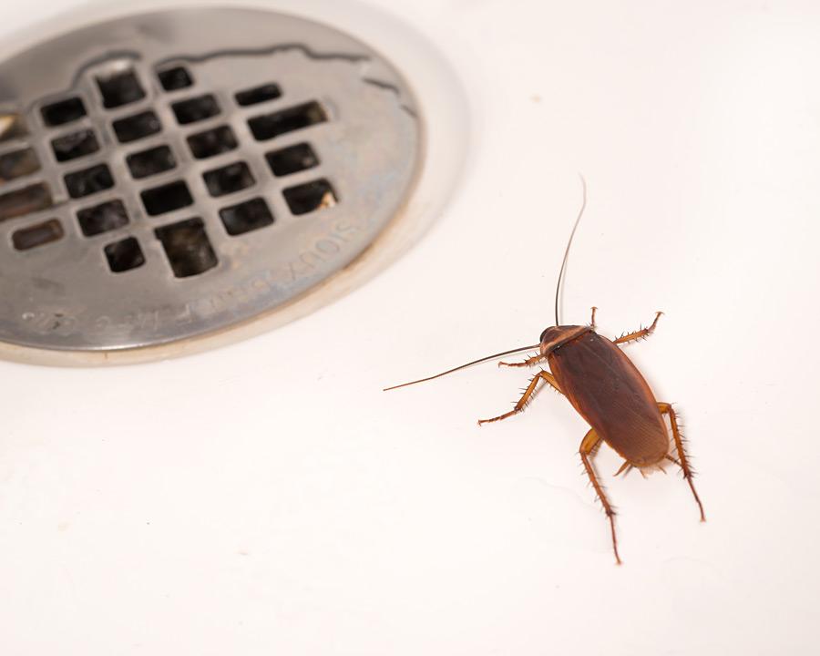 A1 Exterminators American Cockroach Pest Control