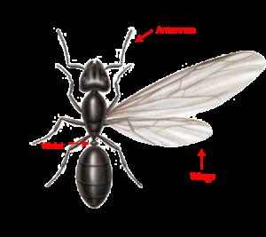 Ant Swarmer