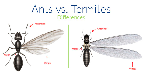 A1 Exterminators Pest Cotnrol Ants and Termites Differences - Termite Control
