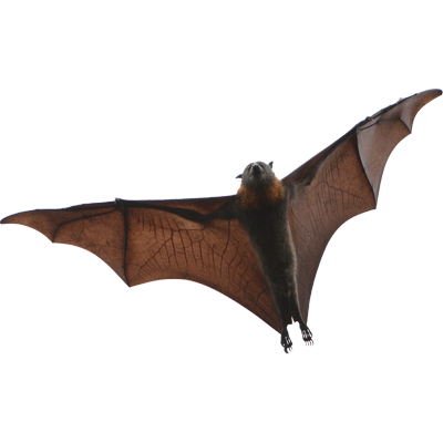 A1 Exterminators Bat Wildlife Control