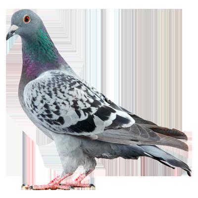 A1 Exterminators Pigeons Wildlife Control