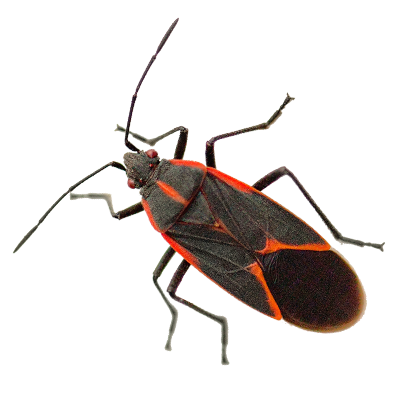 A1 Exterminators Box Elder Bug Pest Control
