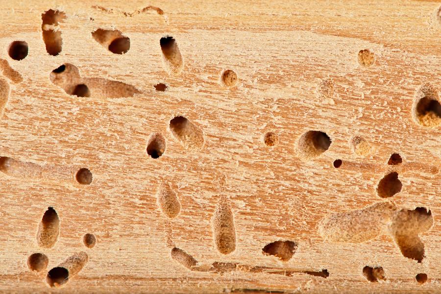 A1 Exterminators Carpenter Ant Damage - Ant Control