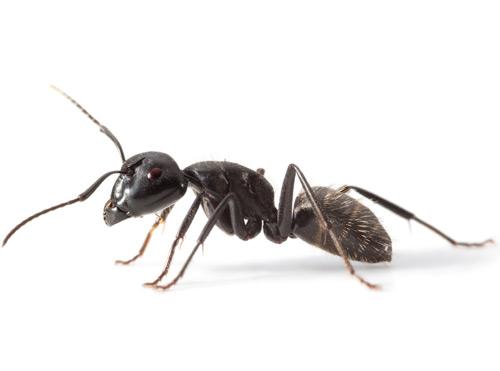 carpenter_ant