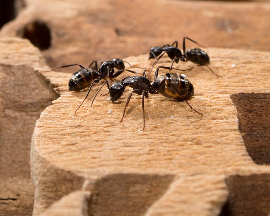 A1 Exterminators Carpenter Ants on wood Pest Control