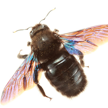 carpenter_bee - Pest Control - A1 Exterminators
