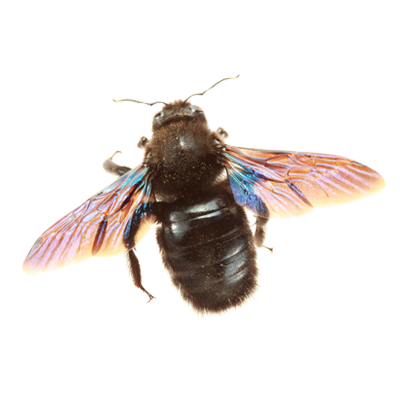 A1 Exterminators Carpenter Bee Control