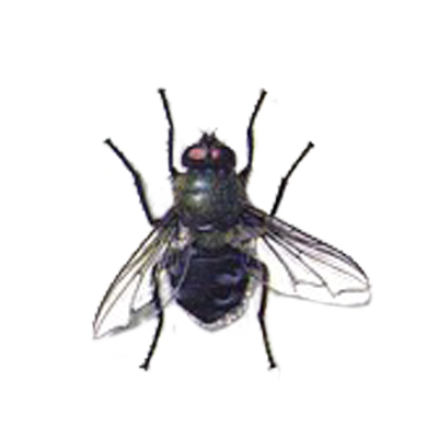 A1 Exterminators Cluster Fly Pest Control