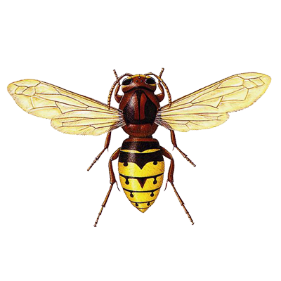 A1 Exterminators European Hornet Pest Control