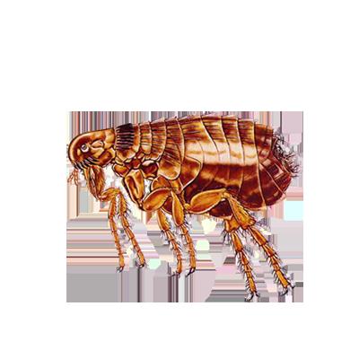 A1 Exterminators Flea Control