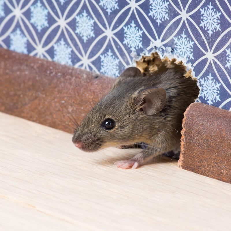 A1 Exterminators Rodent Control