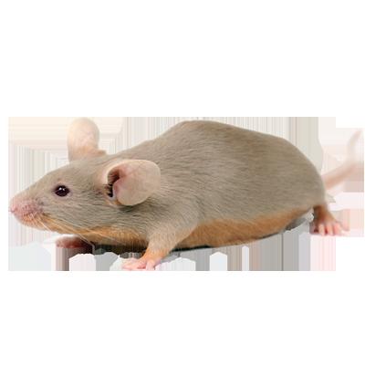 A1 Exterminators Mouse Rodent Control