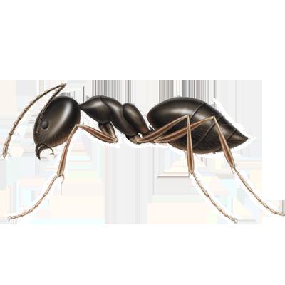 A1 Exterminators Odorous Ant Control