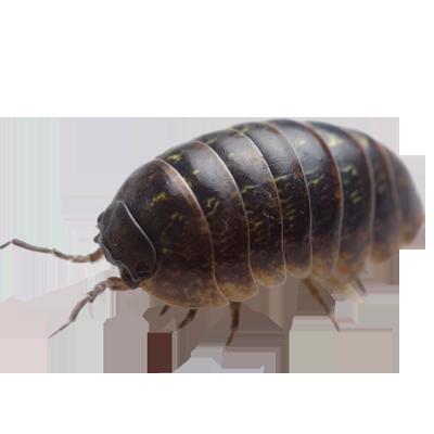 A1 Exterminators pillbug sowbug Pest Control