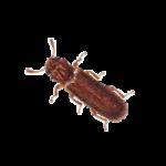 A1 Exterminators Powder Post Beetle Control