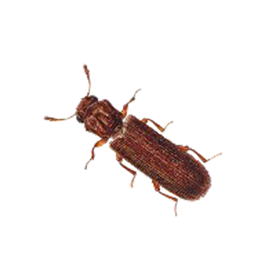 A1 Exterminators Powder Post Beetle Control