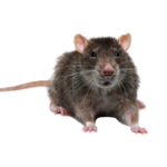 A1 Exterminators rodent removal North Andover