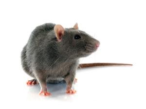 A1 Exterminators Rat Control - Rodent Control and Pest Control