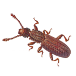 A1 Exterminators Saw Toothed Grain Beetle Pest Control