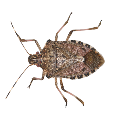 A1 Exterminators Stink Bug Pest Control