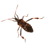 A1 Exterminators Western Conifer Seed Bug Pest Control