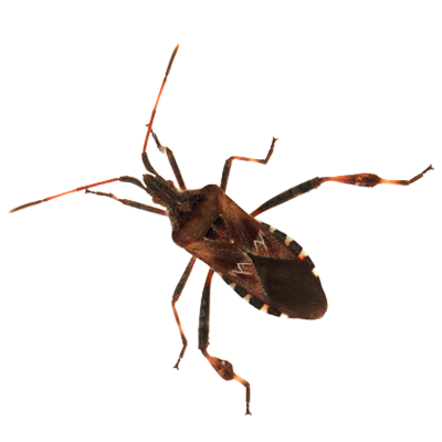 A1 Exterminators Western Conifer Seed Bug Pest Control