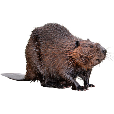 Beaver Control A1 Exterminators