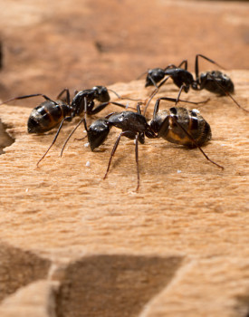 A1 Exterminators Carpenter Ants Control