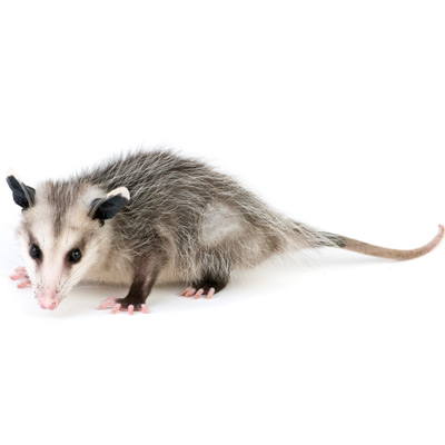 A1 Exterminators opossum and wildlife control
