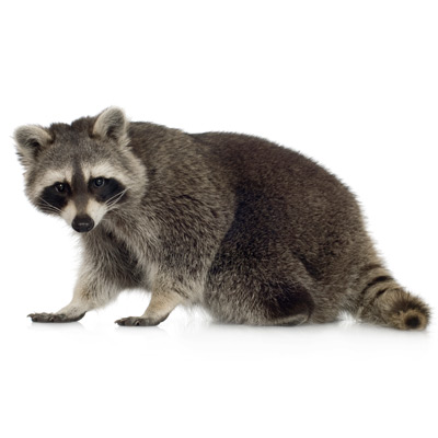 A1 Exterminators raccoon and wildlife control