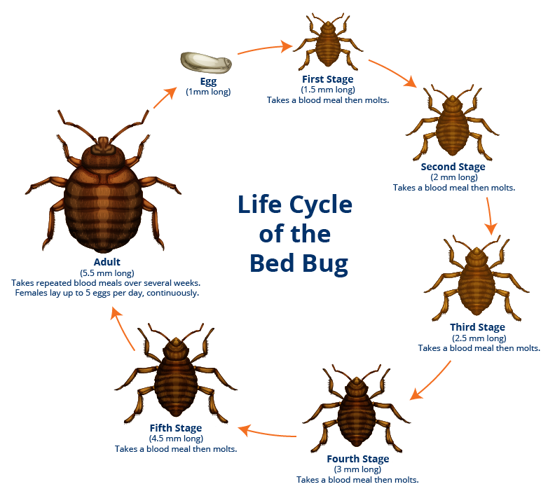 Bed Bug Lifecycle