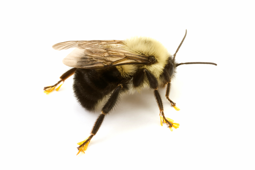 A1 Exterminators Bumblebee