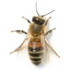 A1 Exterminators Honey Bee Control