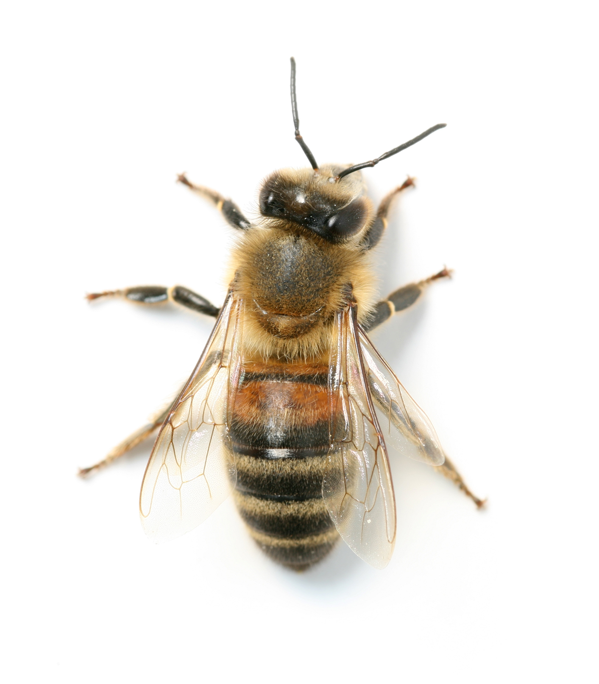 A1 Exterminators Honey Bee Control