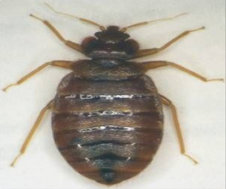 Know Your Parasites The Bedbug Southern New Hampshire