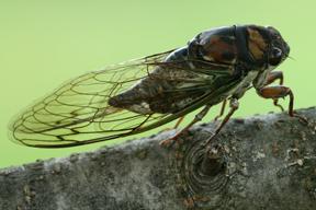 Cicada wings used as antibiotic to kill bacteria A1 Exterminators