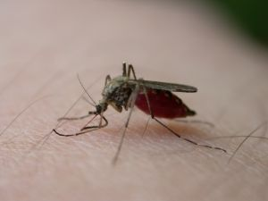Mosquitos can be harmful to humans