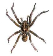 38_house-spider